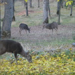 Herd of Deer - Placerville
