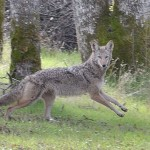 Coyote - Placerville