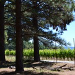 Vineyard in El Dorado County