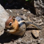 Chipmunk at Caples Lake